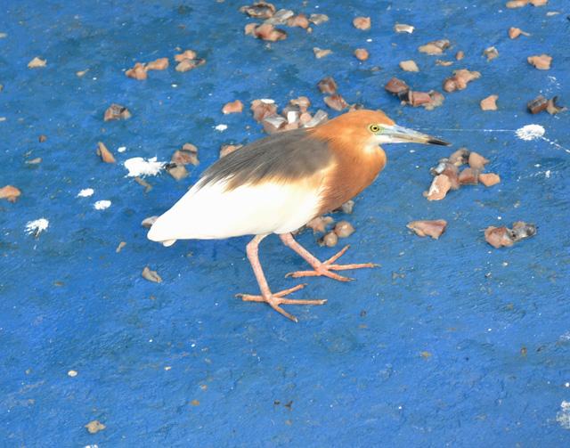 Rescued Heron