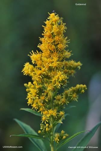 Tall Goldenrod, Late Goldenrod, Canada Goldenrod - Solidago altissima