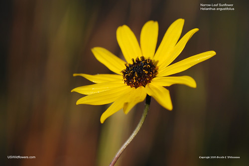 Swamp Sunflower, Narrow-leaf Sunflower - Helianthus angustifolius