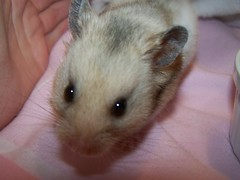 Who remembers me? (jellybaby86) Tags: boy pet hamster widget loved missed syrian bandedgrey