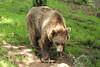 Grizzly Bear (charliejb) Tags: bear zoo wildlife devon dartmoor grizzlybear dartmoorzoo