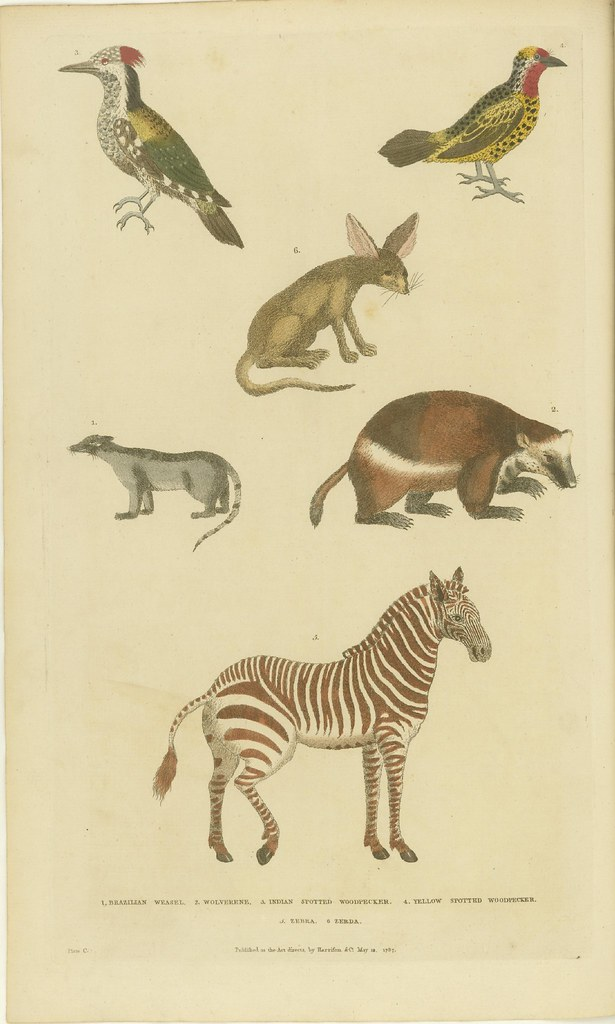 Woodpeckers, zebra, wolverine, weasel, and zerda - hand-coloured book illustration