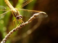 Cazador dorado (Abevil) Tags: dragonfly e1 liblula zuiko70300 aperturaf8 focal300mm