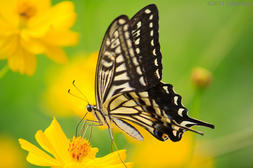 Butterfly lingering over Flowers