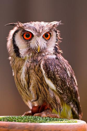 [フリー画像] 動物, 鳥類, フクロウ, アフリカオオコノハズク, 201108191100