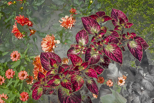 Coleus and Dahlia - Study in Composition, Texture, and Color
