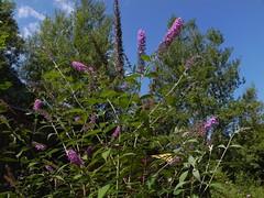Le buddléia de David ou arbre aux papillons (plante invasive) 008