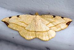 _DSC0263b_1 (aeschylus18917) Tags: macro nature japan insect nikon g moth  lepidoptera micro  nikkor karuizawa prefecture nagano f28 vr  105mm insecta 105mmf28 naganoken    105mmf28gvrmicro 200400mmf4gvr d700 nikkor105mmf28gvrmicro  danielruyle aeschylus18917 danruyle druyle karuizawamachi   200400mmf40gvr