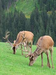 Wildlife (Guillaume Millet) Tags: austria tyrol autriche