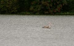 Spot-billed pelican glides in its natural habitat (Nagarjun) Tags: birds bangalore herons madivala madiwala spotbilledpelicans egerts