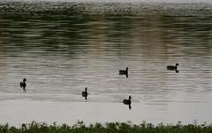 Heron family (Nagarjun) Tags: birds bangalore herons madivala madiwala spotbilledpelicans egerts