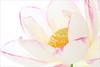 Pink rimmed Lotus Flower Macro - IMG_4553-1 (Bahman Farzad) Tags: pink flower macro yoga peace lotus relaxing peaceful meditation therapy lotusflower lotuspetal lotuspetals lotusflowerpetals stunningphotogpin rimeed lotusflowerpetal