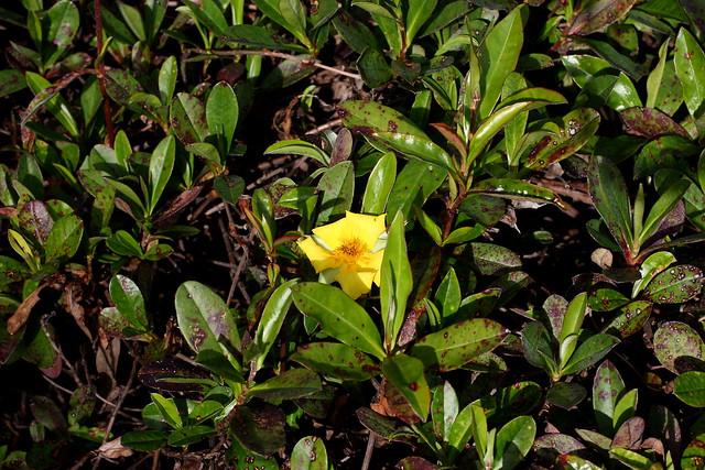 Golden Guinea Flower