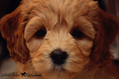 7 weeks old (apassionfordetail) Tags: cute puppy doodle labradoodle cutepuppy australianlabradoodle