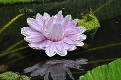 Untitled-00007 (Lucian Badea : phototalestudio.com) Tags: waterlily lily florida botanicalgardens botanicalgarden lilypond pinklily kanapaha kanapahabotanicalgardens kanapahabotanicalgarden