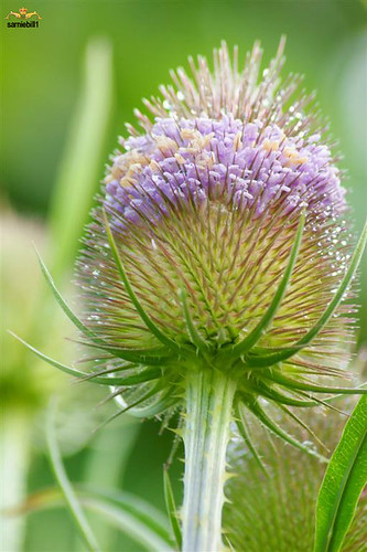 Teasel in flower just for Yvonne a wonderful contact by sarniebill1