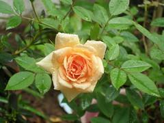 Rosa 3 (Elisa Filos) Tags: ilhus minirosa