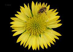 They do match! (Jehane*) Tags: india flower sony yellowflower bee chennai honeybee jehane 2011 sonydscw100 jehanephotography