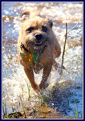 Manic! (di off the wallaby.) Tags: dog swimming happy australia perth westernaustralia swanriver borderterrier bryd blinkagain