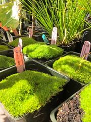 """Scleranthus biflorus """"Australian Astroturf"""""""