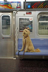 West 4 (H.L.I.T.) Tags: nyc dog newyork subway martin evacuation hurricane mta irene labradoodle tomotterness 8thavenue joyridingwithmartin