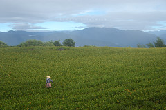 IMGP8472 (Rick.Ying) Tags: taiwan hualien sixtystonemountain goldenneedles fulitownship jhutianvillage