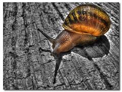 Lento pero seguro (N3CR0N0M1C0N) Tags: color macro colors cutout photography photo cool nice foto close shot artistic sony snail colores fotografia dsc hdr caracol mollusc closer mollusk artistico h9 acercamiento molusco photomatix pedrodaniel n3cr0n0m1c0n pedrodanielhernandezphotography pedrodanielhernándezphotography