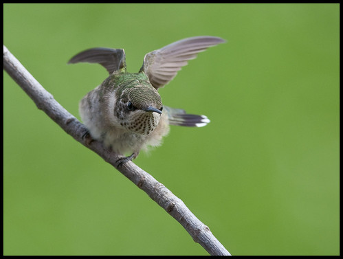 Juvenile male ruby-throated hummingbird 12