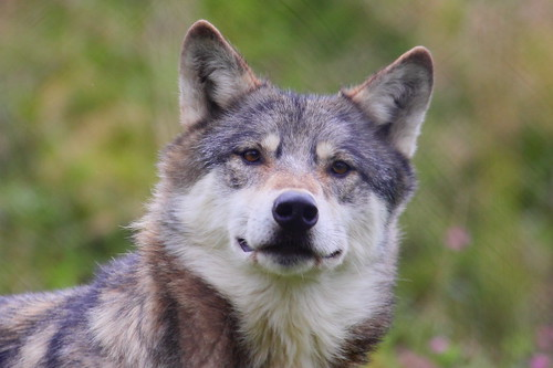 UK Wolf Conservation Trust 28-08-11 by Tom Lord