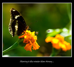 Sharing is sweeter than Honey! (Awsom Angelo) Tags: butterfly photography sandeep kerala kodal koodal tamrontelephoto70300mmlddimacro sandeepphotography sonydslralphaa550