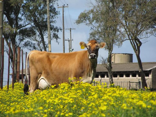 Jersey cow amid the yellow flowers