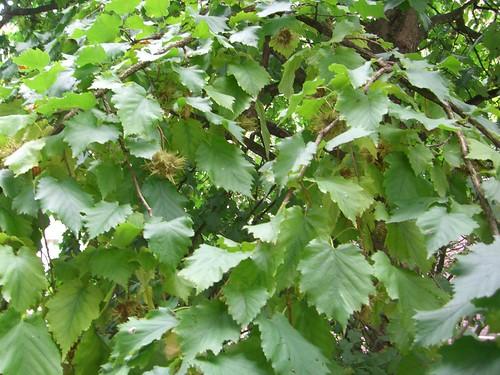 Baum-Hasel Blätter und Früchte am Baum