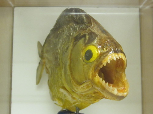 Dried Piranha with Crazy Teeth
