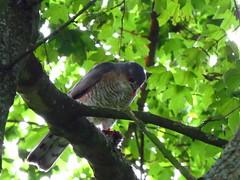 Sparrow-Hawk With Prey (JourneySX30) Tags: trees tree bird birds hawk vogels sparrow sperwer prey bos vogel sparrowhawk prooi sx30 canonsx30is canonsx30