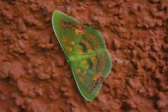 Costa Rica (joeksuey) Tags: santa cloud forest insect costarica mosaic moth reserve elena monteverde 2011 joeksuey