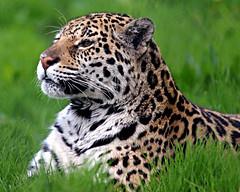 JAGUAR (Eddie Evans) Tags: flickrbigcats chesterzoo zoo chester wildanimals jaguars bigcats