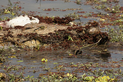 Nile Crocodile holding impala remains. (Vertical Planar - planars.wordpress.com) Tags: africa park river walking south lagoon nile safari national camouflage crocodile wilderness impala remains zambia hunt savanah shenton southluangwa luangwa λίμνη kaingo mwamba ζάμπια κροκόδειλοσ αντιλόπη καμουφλάζ λουάνγκα