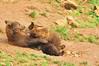 PORQUE SE LLAMARAN MAMIFEROS?? (Pepon 2009) Tags: naturaleza nature animals oso animales cantabria grizzlybear mamiferos osos cabarceno osopardo pepon vacances2011