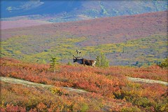 Caribou in Denali National Park - Autumn - Animal - Wildlife - Alaska (blmiers2) Tags: travel autumn orange brown green nature beautiful animal animals yellow alaska landscape nikon purple wildlife caribou denalinationalpark d3100 blm18 blmiers2