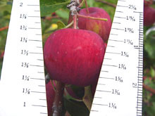 Mark Apple Measure
