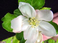 MM.106 EMLA Blossom