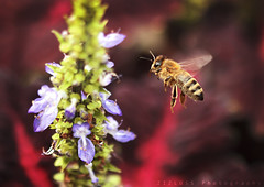 Searching for Something.. (ZiZLoSs) Tags: flowers flower macro canon eos flying focus bee 7d usm f28 aziz abdulaziz   ef100mm zizloss  3aziz canoneos7d almanie abdulazizalmanie
