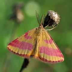 Fragola e nocciola () Tags: macro male butterfly photography photo foto photographer photos moth geometridae fotografia farfalla stefano fotografo falena trucco tamron90 lythria zush cruentaria stefanotrucco