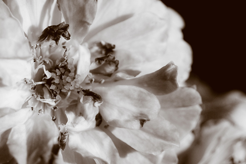 Sepia 13/30: September Rose