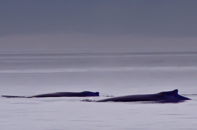 2 Humpback Whales in calm waters off Port Angeles, WA