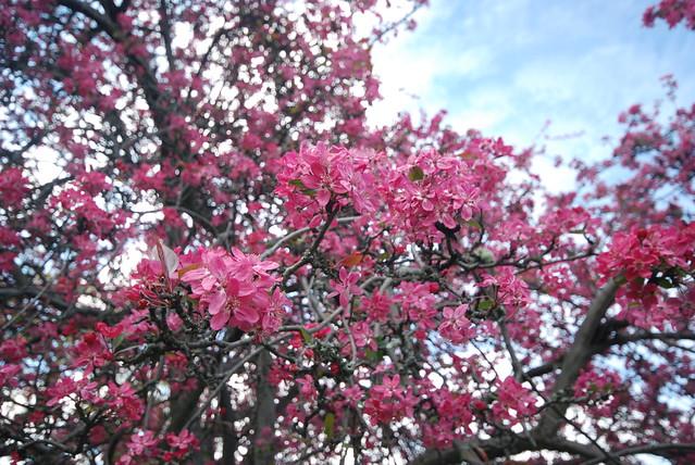 Tasmania - 樱花树