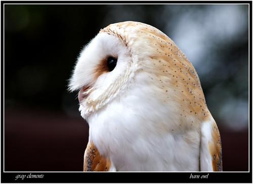 barn owl    .[ explored]