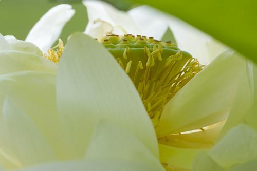 Lotus rozanbyakuren 芦山白蓮(ロザンビャクレン)