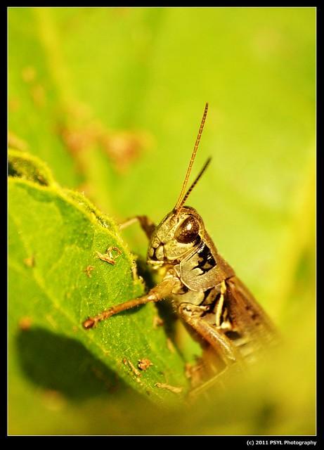 Unidentified Grasshopper (Melanoplus spp.)