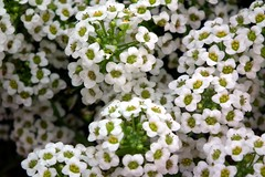 Alyssum white color at lalbagh (Rameshng) Tags: show flower garden bangalore annual lalbagh alyssum